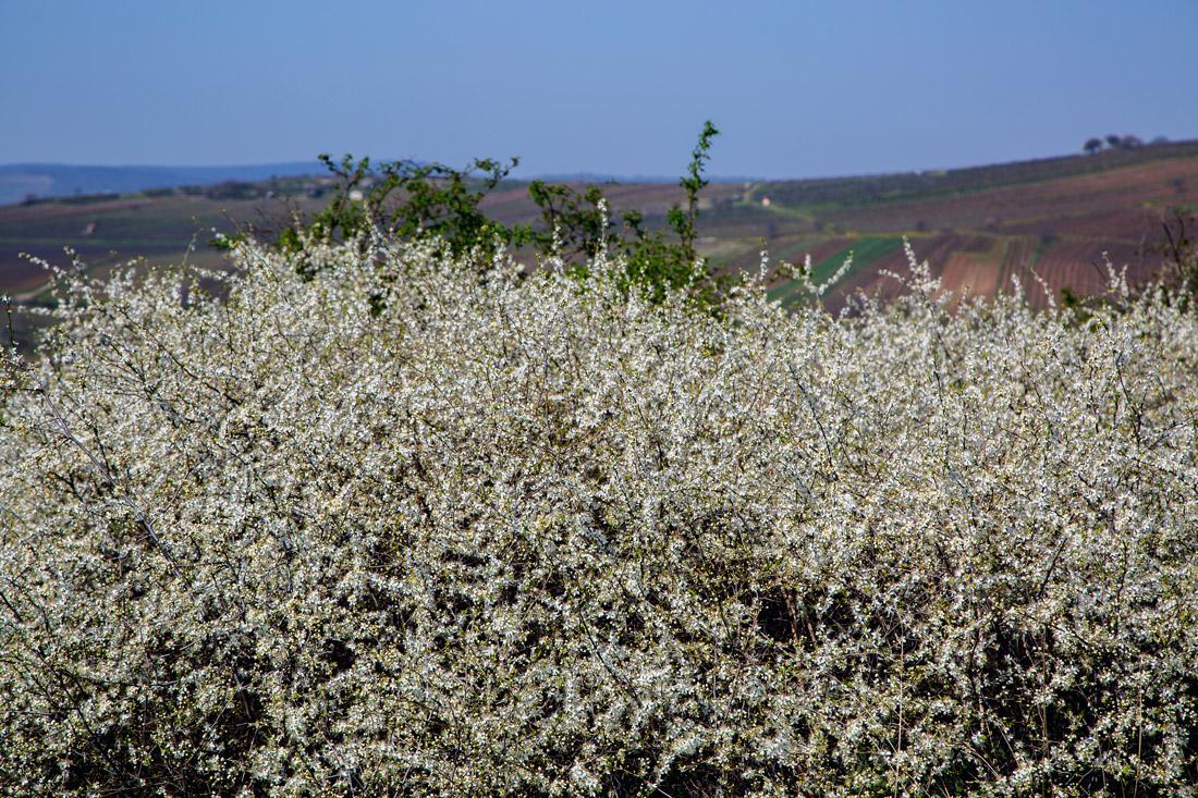 kökény virágzás Mádon Tokajban