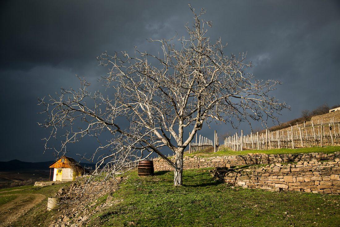 klímaváltozás hatása a szőlőre és borokra
